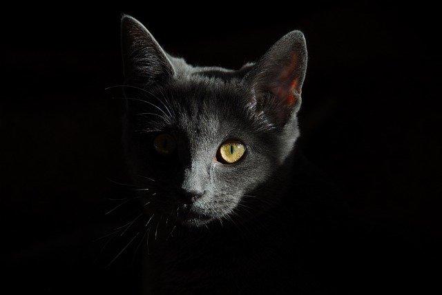 Gray cat black backround