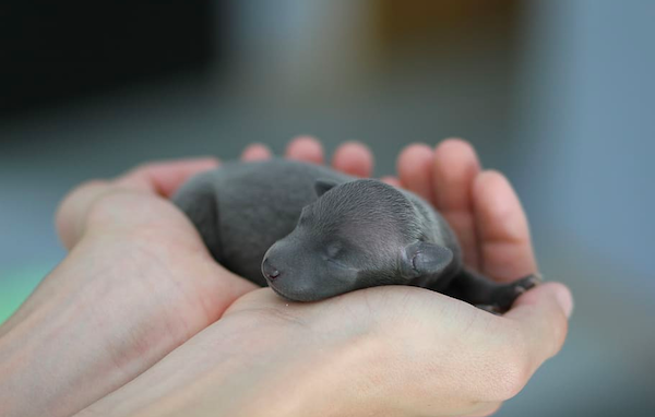 Cupped hands hold newborn puppy
