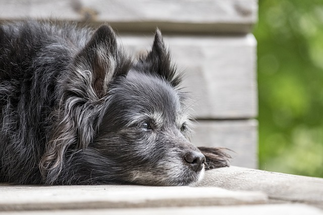 Older dog lying down
