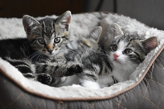 Two tabby kittens in bed
