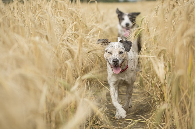 Two dogs running through field