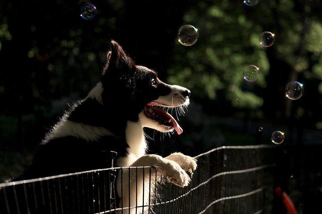 Black and white dog playing with bubbles