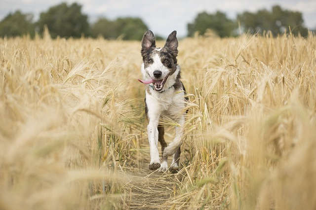 Happy dog running through field with tongue out