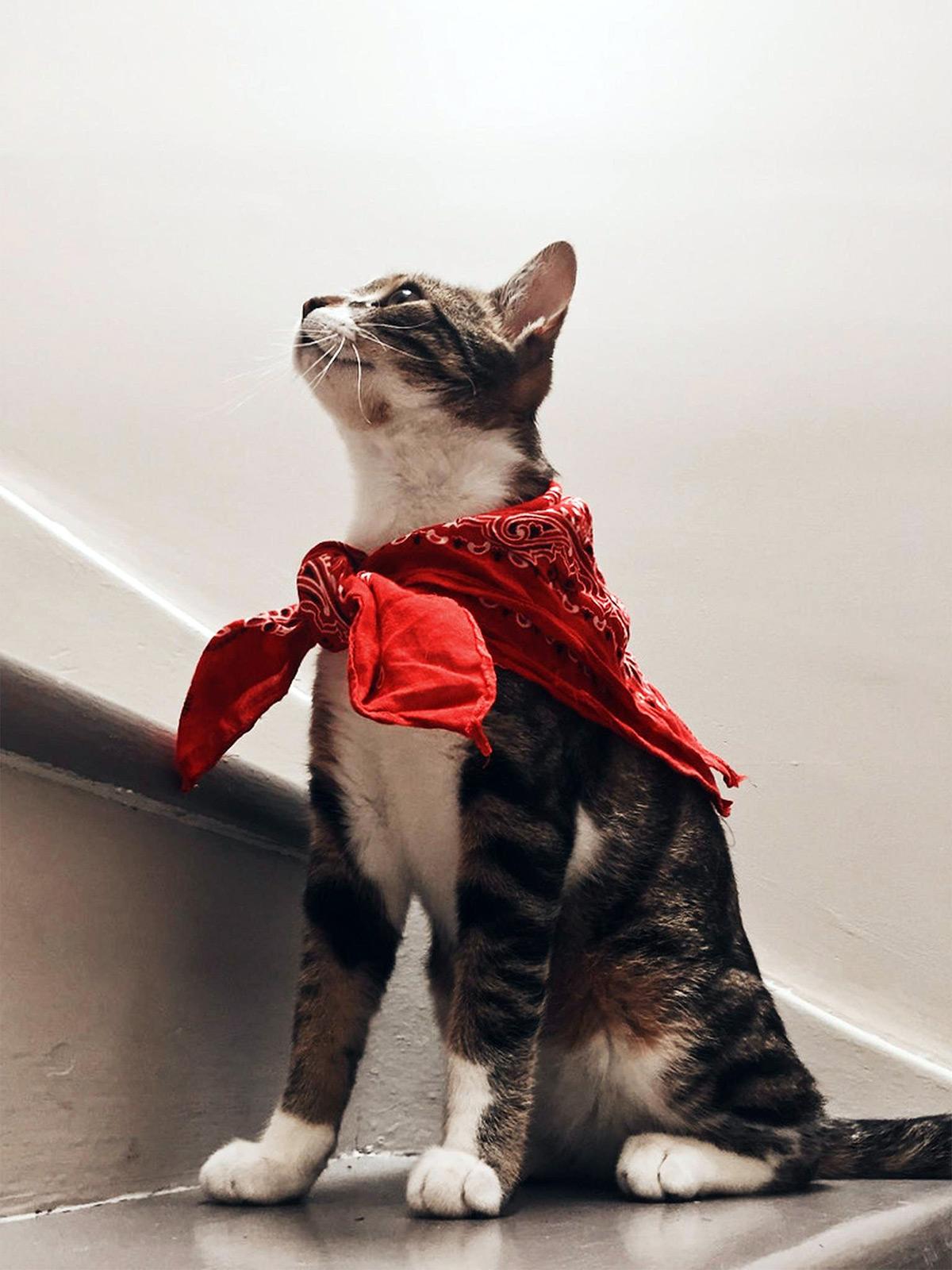 Cat wearing red bandana